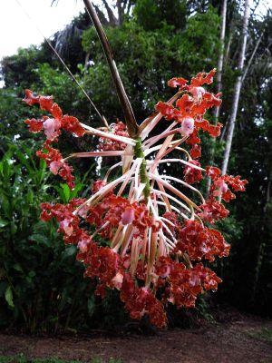 Plantas del Amazonas: Orquídeas en Cuyabeno