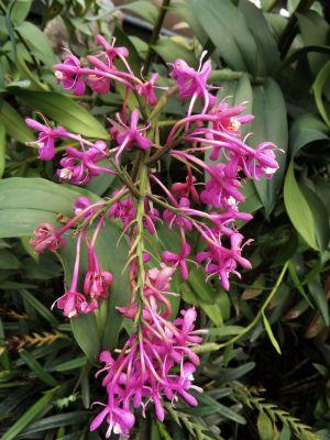 Plantas del Amazonas: Orquídea morada del Amazonas