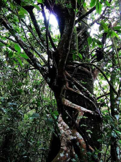 Strangle Vine in Cuyabeno