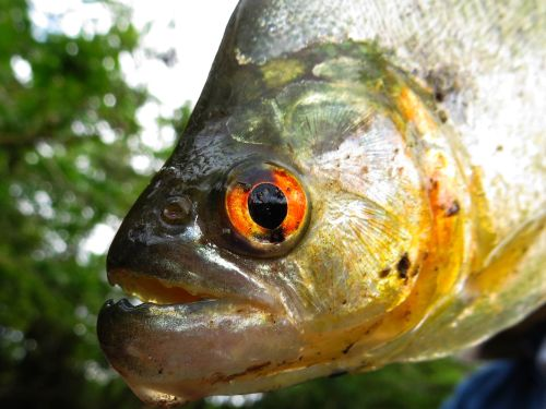 Visiting the Amazon in Ecuador: Amazon Piranha mouth with teath caught when visiting the Amazon in Ecuador.