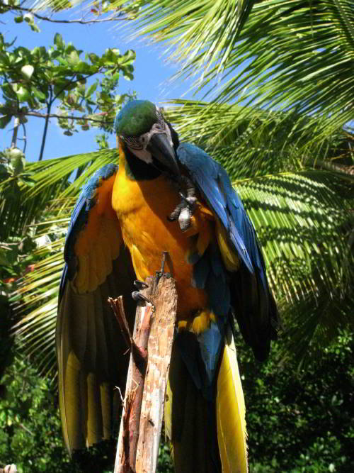Visiting the Amazon in Ecuador: Blue and Yellow macaws can be frequently seen when visiting the Amazon in Ecuador.