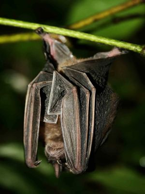 DIEREN VAN HET TROPISCHE REGENWOUD VAN HET AMAZONEGEBIED VAN ECUADOR: Bats are very common animals of the Amazon jungle