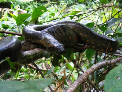 Amazon jungle animals Ecuador: Anacondas are infamous Amazon Jungle animals