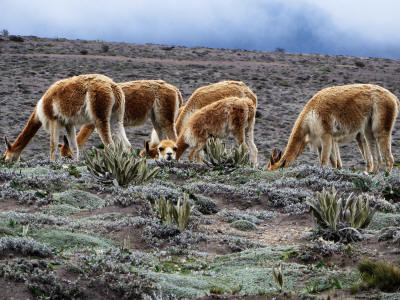 Andes animals: Vicu�as have been successfully introduced at the Chimborazo wildlife reserve.