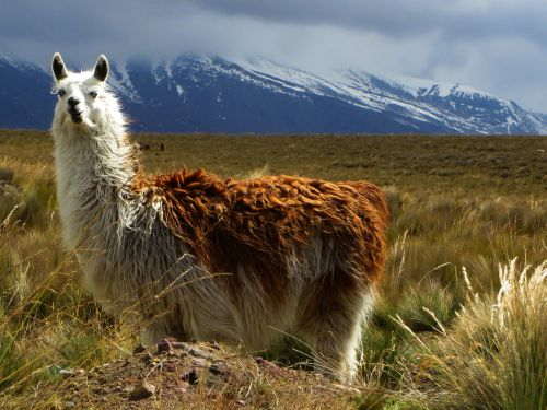 Alpacas in Chimborazo Wildlife Reserve are the domesticated form of the vicu�as.