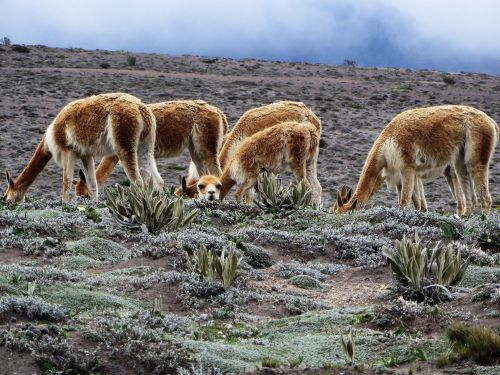 6000+ Vecu�as roam freely at the chiborazo paramo.