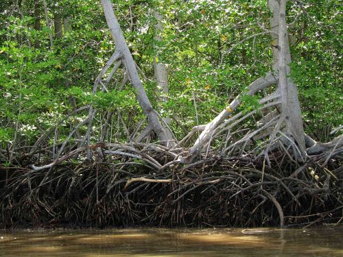 Ecuador Facts and Culture: Mangrove forests at the Padific coast of Ecuador