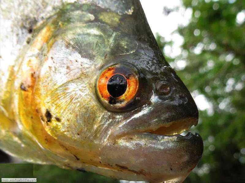 amazon-piranha-mouth-with-teeth