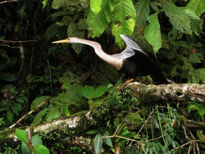 Amazon jungle animals Ecuador: Amazon Darter