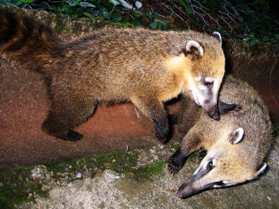 Animaux de la jungle amazonienne: coati à queue à bagues,  Nasua nasua