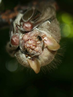Amazon jungle animals Ecuador: Bats may have ugly faces in the Amazon Jungle