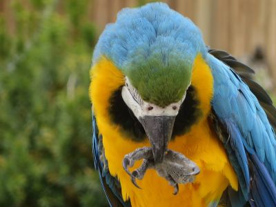 Amazon jungle animals Ecuador: Blue and Yellaw Macaw