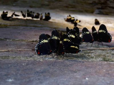 Amazon jungle animals Ecuador: Butterflies gathering at a salt lick