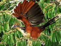 Amazon jungle animals Ecuador: Hoatzin, Opisthocomus hoazin, in flight