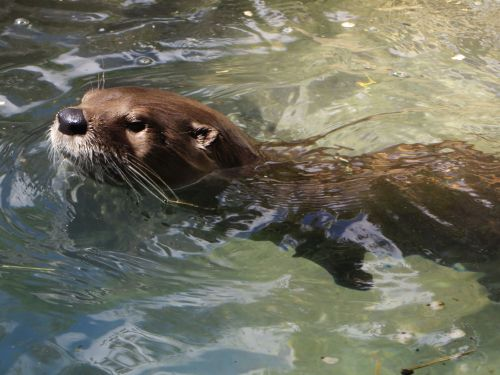 Amazon Giant Otter