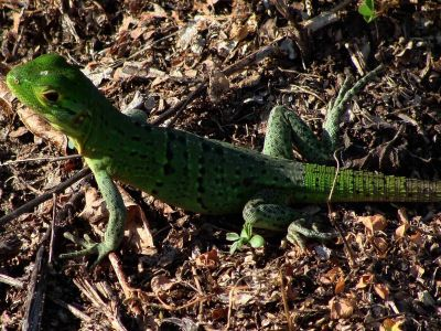 DIEREN VAN HET TROPISCHE REGENWOUD VAN HET AMAZONEGEBIED VAN ECUADOR: Reptiles are not commonly found in the Amazon Jungle