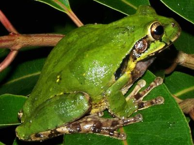 Amazon jungle animals Ecuador: Frog waiting to snap up a fat insect