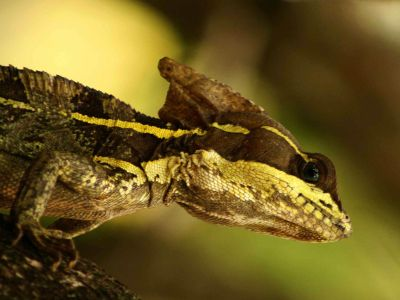 Amazon jungle animals Ecuador: A helmed lizar