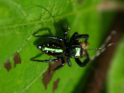 Amazon jungle animals Ecuador: Jumping spiders on its pray