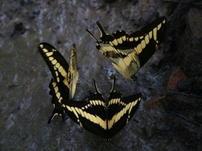 DIEREN VAN HET TROPISCHE REGENWOUD VAN DE AMAZONE VAN ECUADOR: Butterflies at a river bank in the Amazon Jungle
