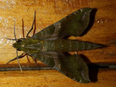 DIEREN VAN HET TROPISCHE REGENWOUD VAN DE AMAZONE VAN ECUADOR: Moths come at night to the Cuyabeno Lodge