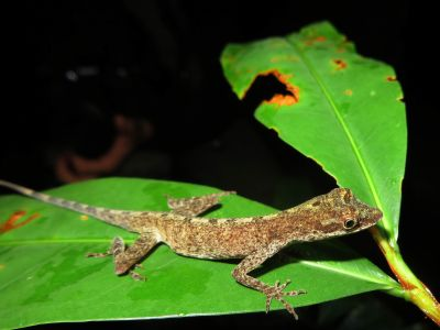 Amazon jungle animals Ecuador: Interesting lizard in the jungle