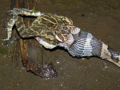 Amazon jungle animals Ecuador: A snake swallowing a toad in the Amazon Rainforest