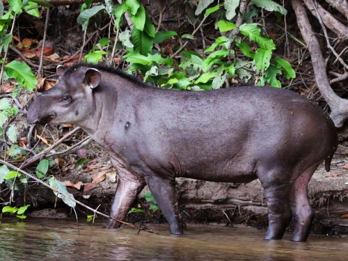 Animaux de la jungle amazonienne:
