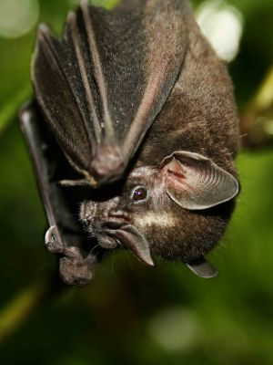Amazon jungle animals Ecuador: Amazon jungle bat