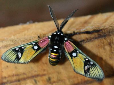 DIEREN VAN HET TROPISCHE REGENWOUD VAN DE AMAZONE VAN ECUADOR: Moth with tranparent wings in the Jungle