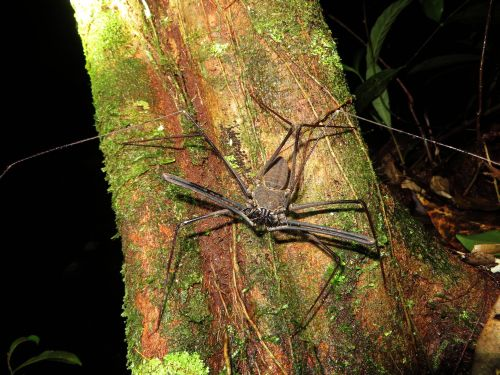 Amazon whip spider Amblypygi are clawed spiders without scorpion tail or poison