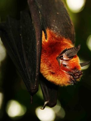 Amazon jungle animals Ecuador: Hairy bat in the jungle