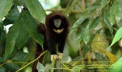 Amazon jungle animals Ecuador: Yellow Handed Titi Monkey is a common Jungle Animal at Cuyabeno